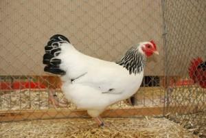 Zwerg-Sussex Henne